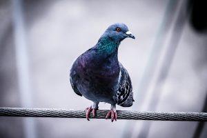Conheça o sistema de controle de pombos capaz de inibir as aves indesejadas