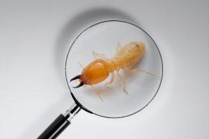Saiba quando identificar uma infestação de cupim